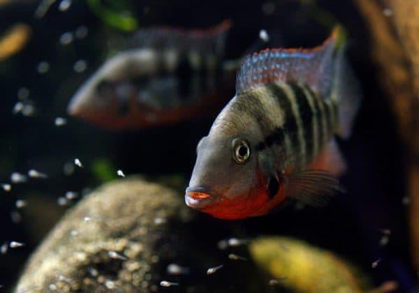 Цихлазома Меека - рыбка в аквариуме
