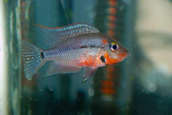 Цихлазома Меека - удивительная рыбка