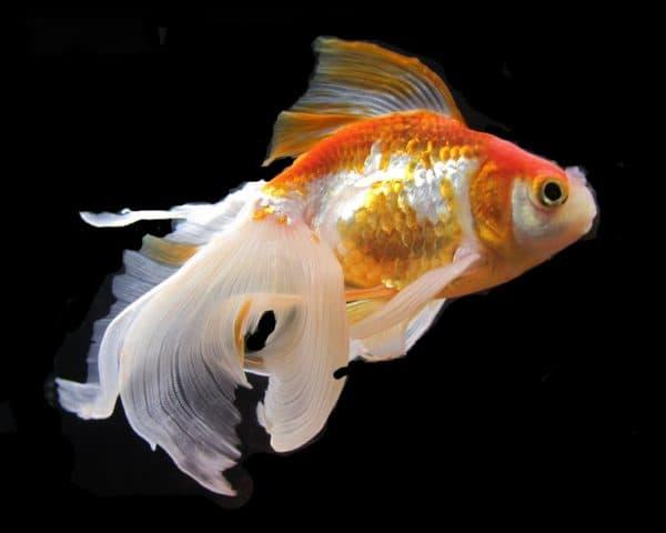 Долгожители золотые рыбки
