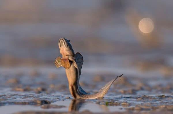 Илистый прыгун - удивительная рыба