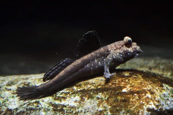 Илистый прыгун - удивительная рыбка фото