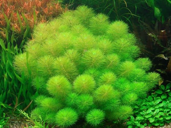 Лимнофила - красивое растение в аквариуме