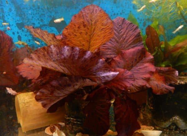 Нимфея - красивое аквариумное растение