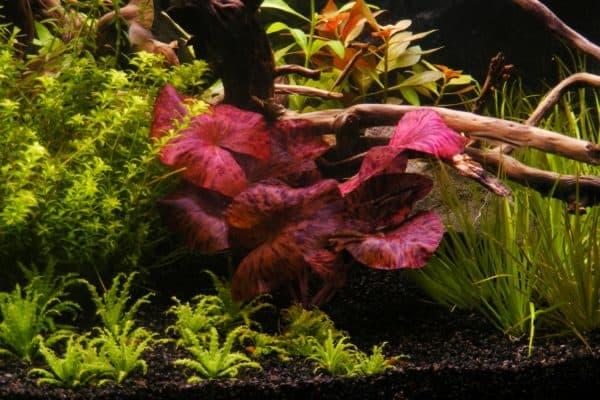 Нимфея - прекрасное аквариумное растение