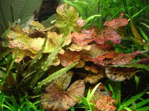 Нимфея - удивительное аквариумное растение
