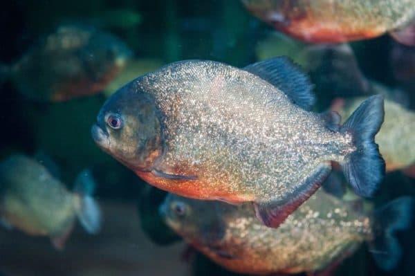 Пиранья красный паку - красивая рыбка