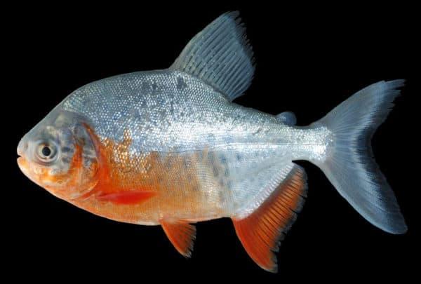 Пиранья красный паку - красивая рыбка в аквариуме