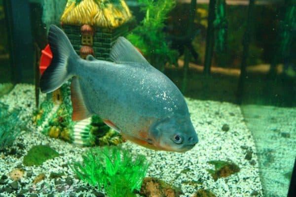 Пиранья красный паку - необычная рыбка