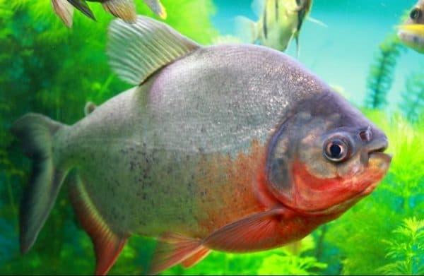 Пиранья красный паку - необычная рыбка в аквариуме
