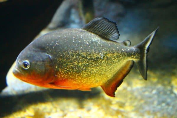 Пиранья красный паку - удивительная рыбка в аквариуме