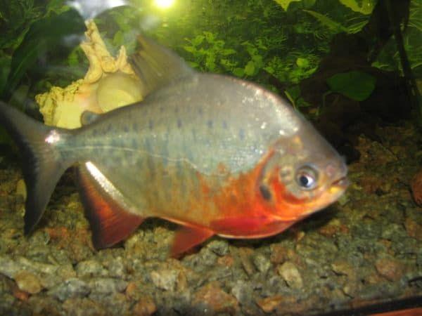 Пиранья красный паку в аквариуме