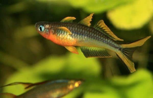 Попондетта фурката - красивая рыбка