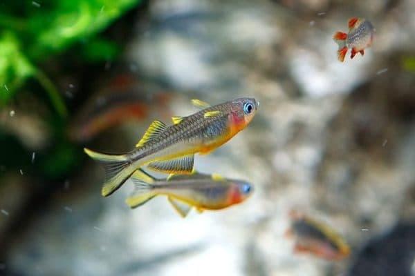 Попондетта фурката - красивая рыбка в аквариуме
