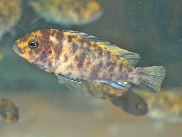 Псевдотрофеус зебра - красивая рыбка
