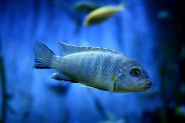 Псевдотрофеус зебра - необычной красоты рыбка