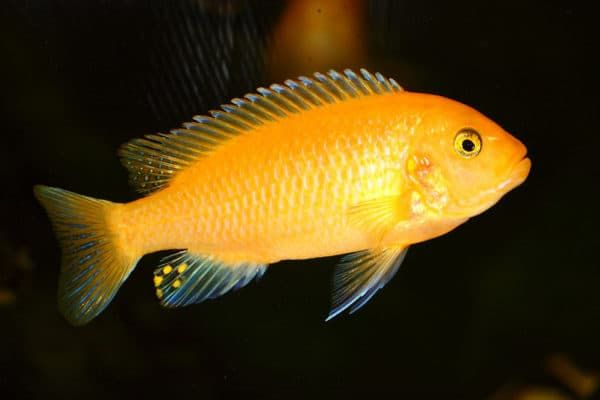 Псевдотрофеус зебра - удивительная рыбка