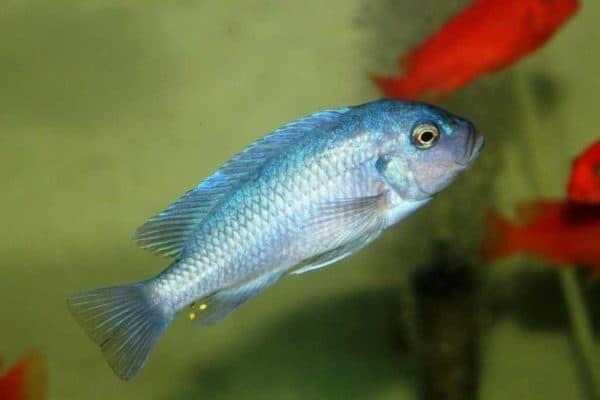 Псевдотрофеус зебра - удивительная рыбка в аквариуме
