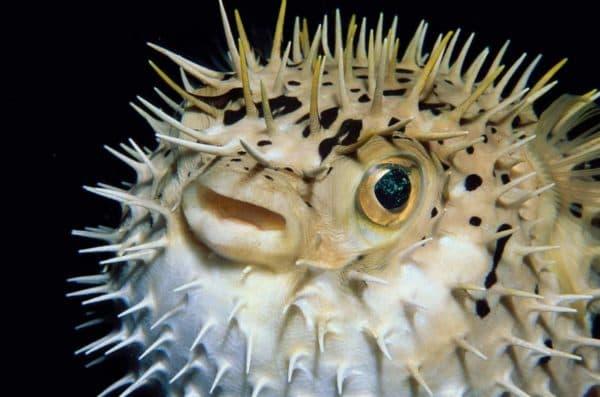 Рыба-еж читайте статью