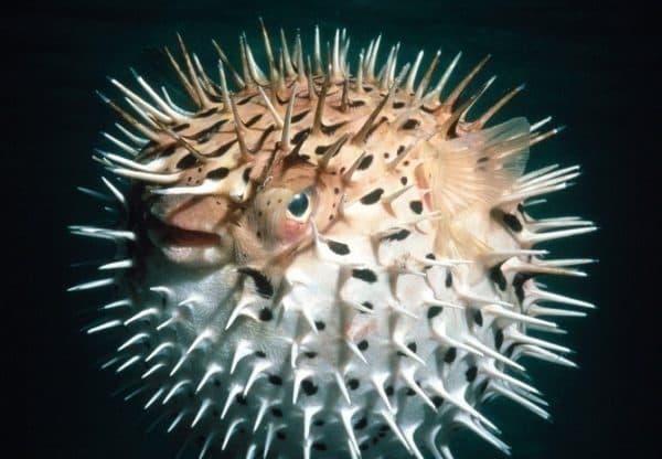 Рыба-еж фото