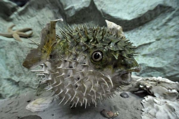 Рыба-еж характер