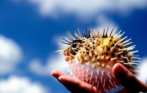 Рыба-еж на фото