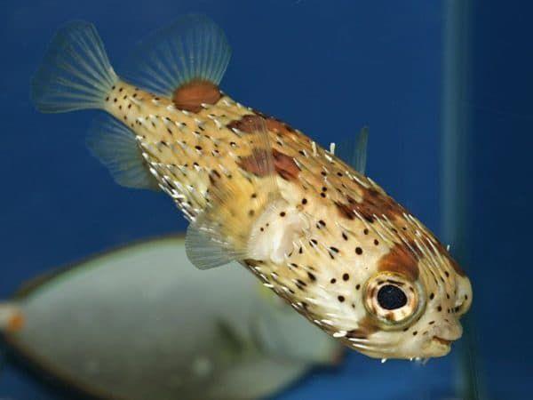 Рыба-еж - необычная рыбка