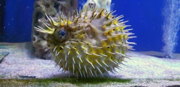 Рыба-еж описание