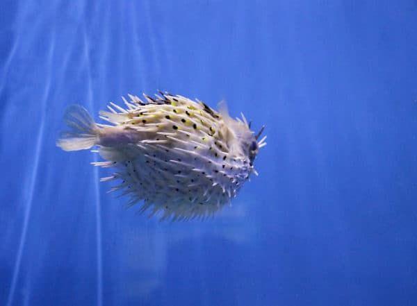 Рыба-еж особенности содержания в аквариуме