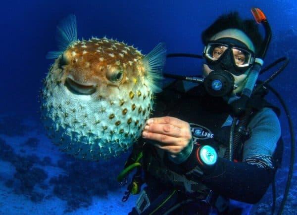 Рыба-еж - прекрасная рыбка