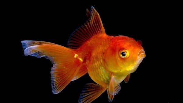 Сколько лет живут золотые рыбки читайте статью