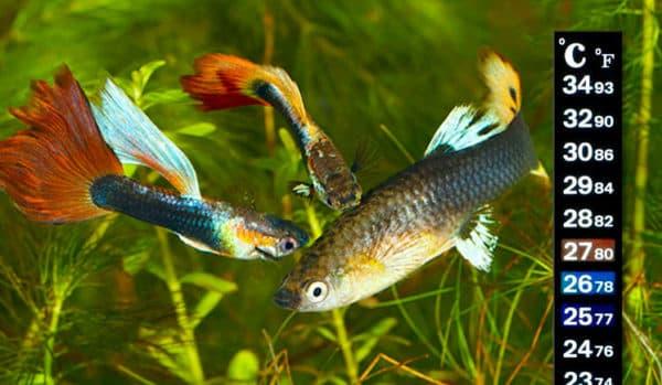 Температура воды в аквариуме для рыбок читайте статью