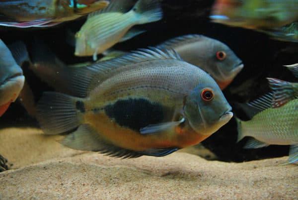 Уару чернопятнистый - красивая рыбка