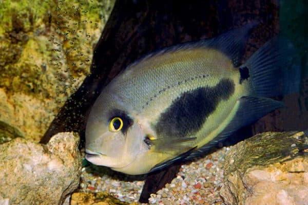Уару чернопятнистый - красивая рыбка в аквариуме