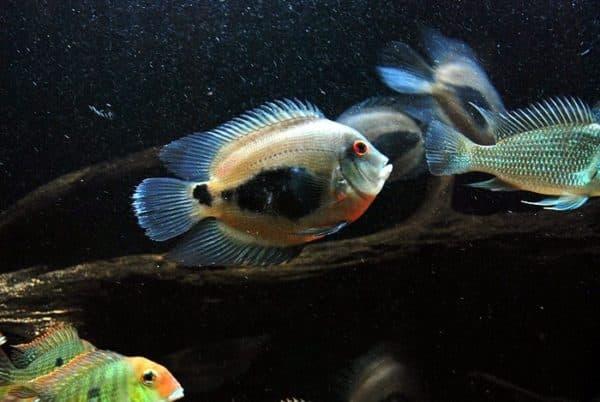 Уару чернопятнистый - необычная рыбка в аквариуме