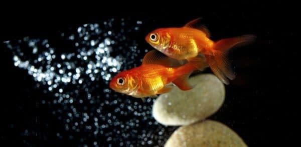 Условия содержания золотой рыбки
